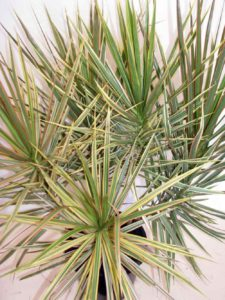 Dracaena Marginata – Tri Colour