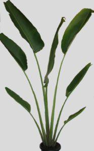 Ravenala Madagascarensis