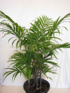 Chrysalidocarpus/Dypsis Cabadae