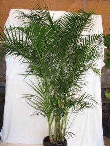 Chrysalidocarpus/Dypsis Lutescens